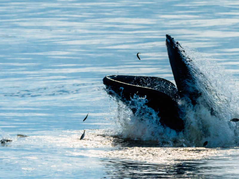 Humpback whales anywhere from 270-400 baleen plates on each side of their mouth