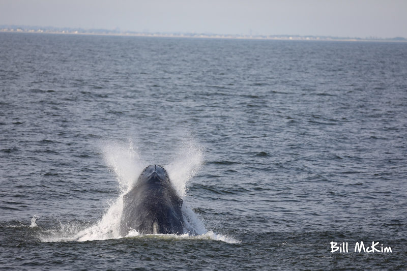 Humpback whales jersey shore photographs by bill mckim