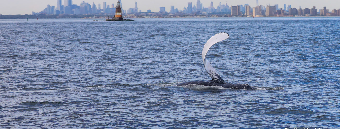 Sometimes We can see NYC from the boat! A Whale breaching with NYC as a backdrop!
