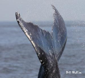 Humpback whales jersey shore photographs by bill mckim