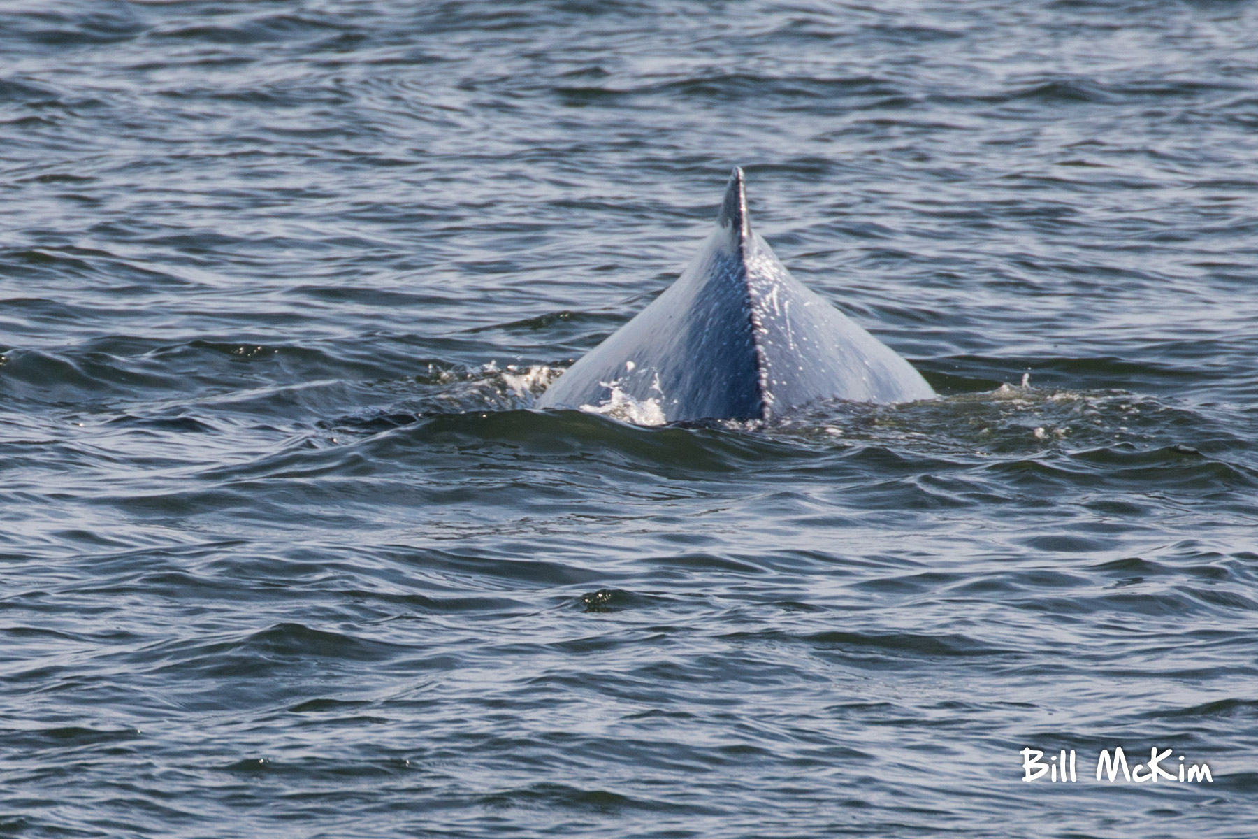 Jersey shore whale watching bill mckim june25th-4771