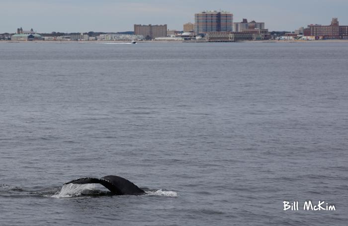 Jersey shore whale watching tour bill mckim photos