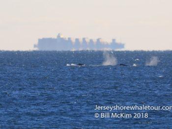 Minke whale off Belmar 2019