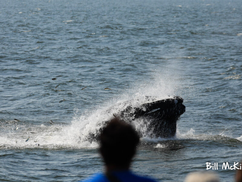 Lunge feed Humpback whale if front of our boat