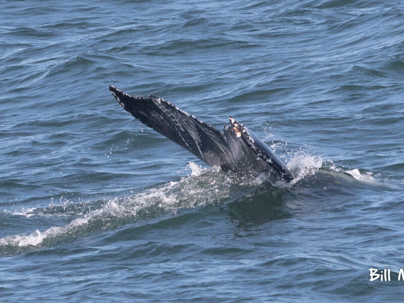 , The whale breached 7 times! today June 20 trip report, Jersey Shore Whale Watch Tour 2021 Season