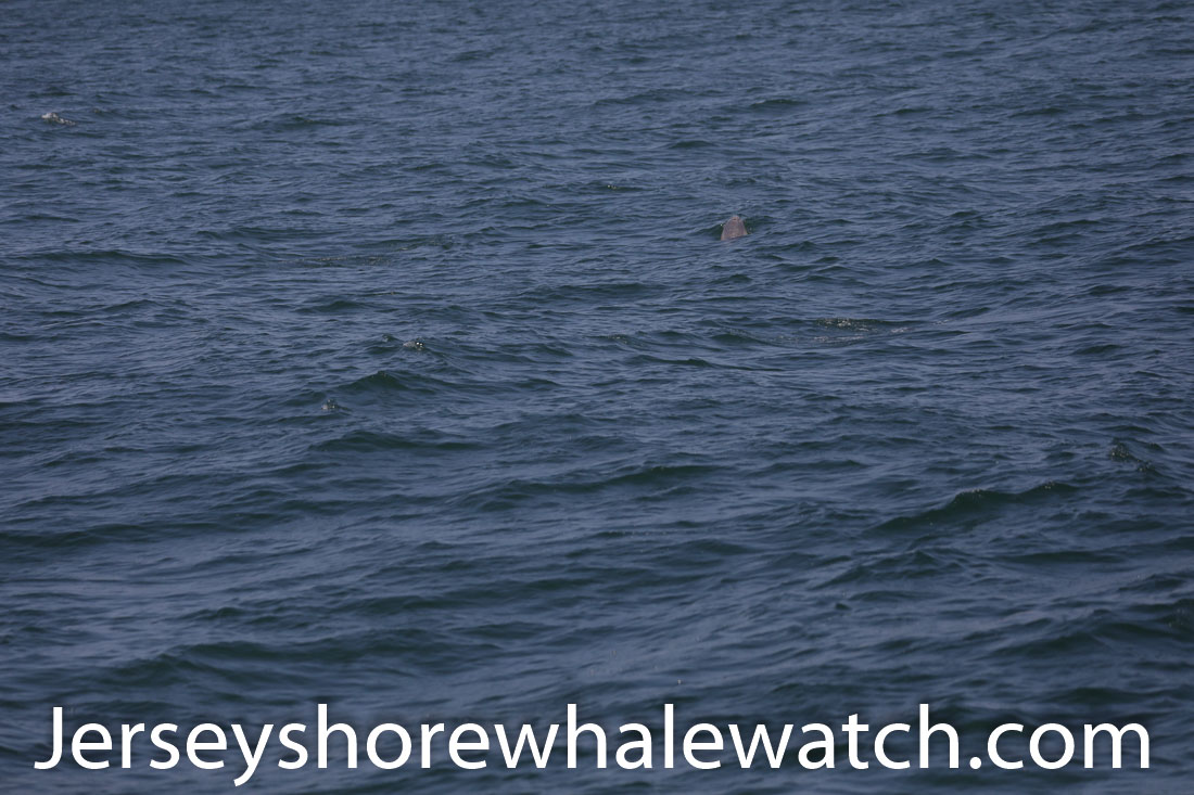 Jersey shore whale watch July 6 review 2020 (18 of 37)