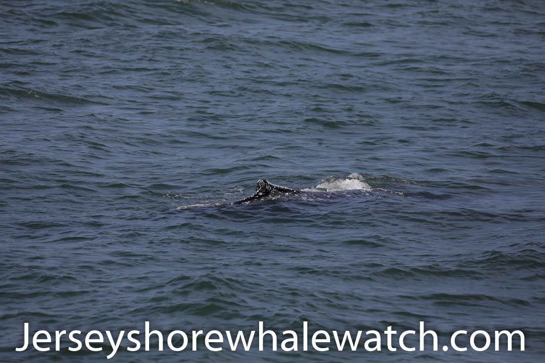 Jersey shore whale watch July 6 review 2020 (19 of 37)