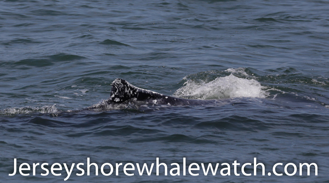 Jersey shore whale watch July 6 review 2020 (20 of 37)