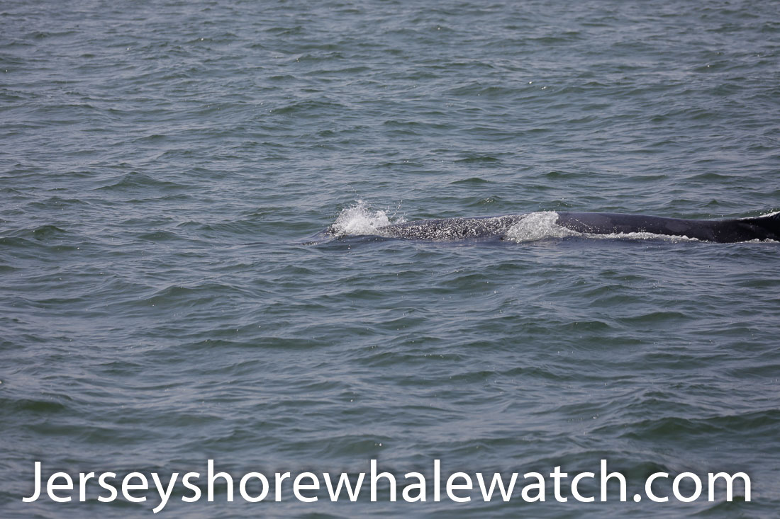 Jersey shore whale watch July 6 review 2020 (24 of 37)