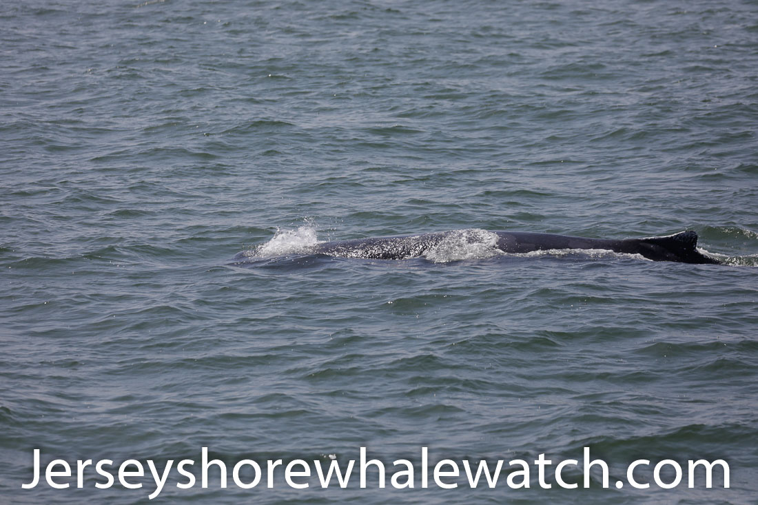 Jersey shore whale watch July 6 review 2020 (25 of 37)