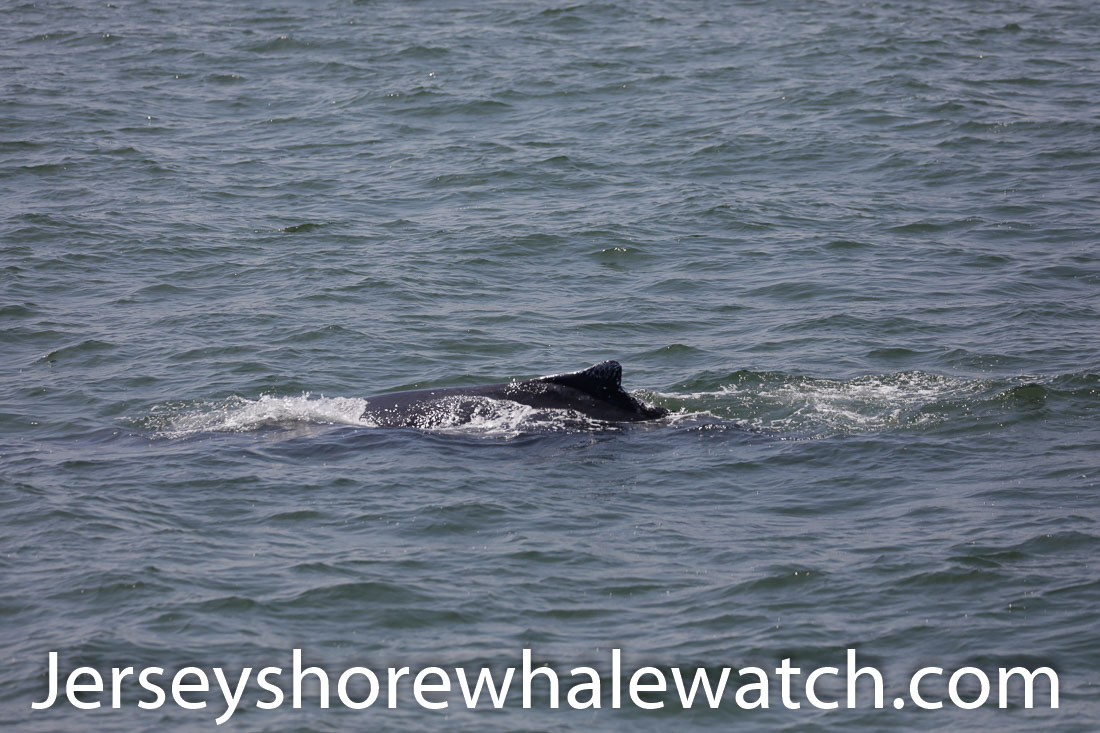 Jersey shore whale watch July 6 review 2020 (26 of 37)