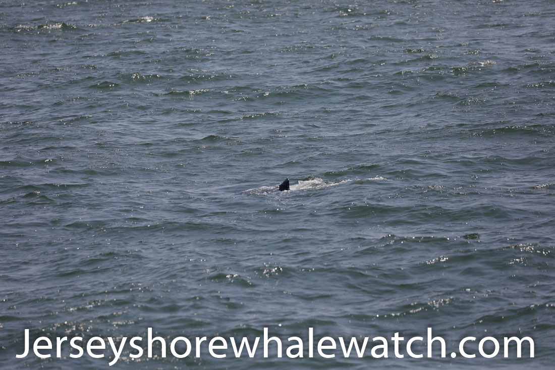 Jersey shore whale watch July 6 review 2020 (29 of 37)