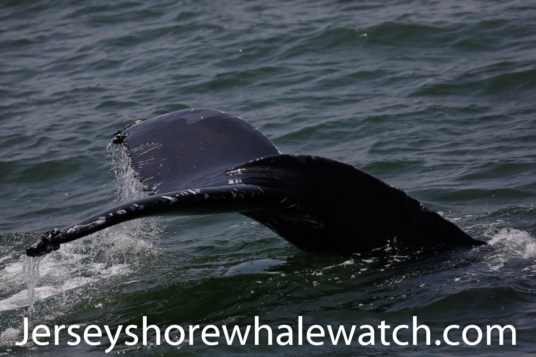 Jersey shore whale watch July 6 review 2020 (30 of 37)