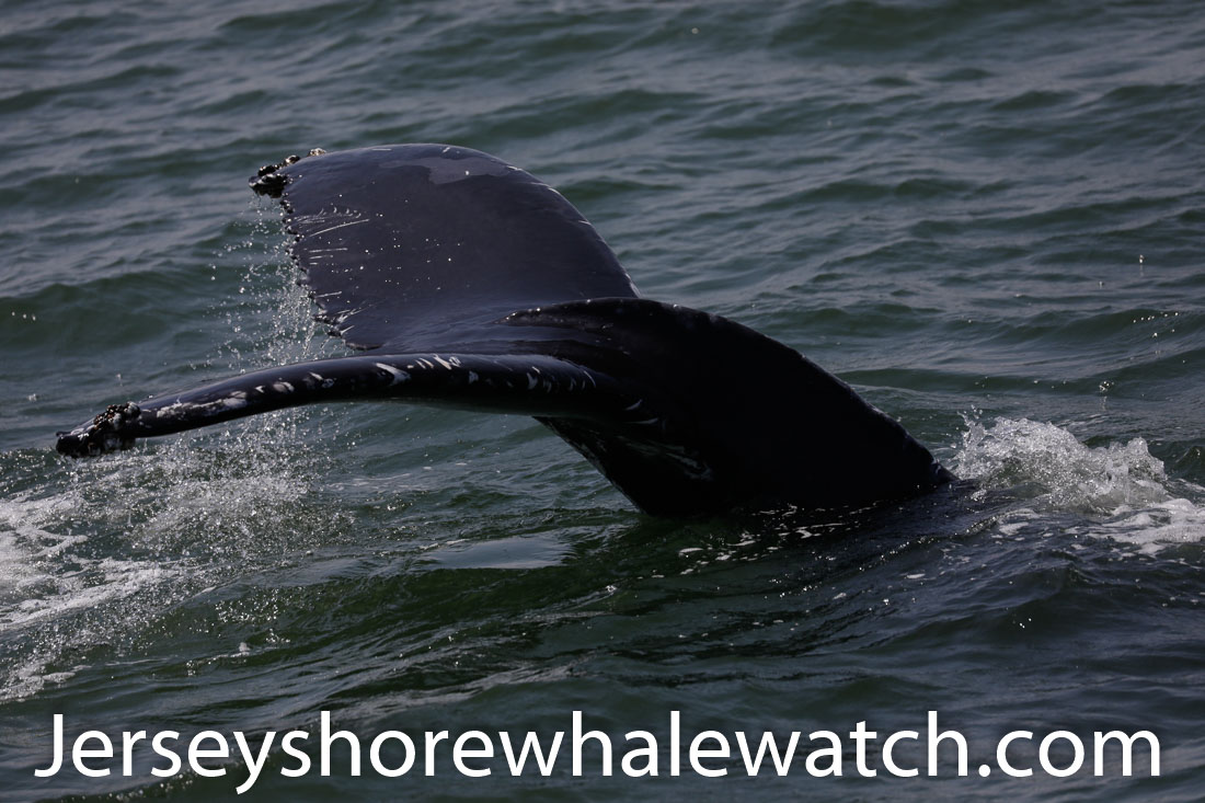 Jersey shore whale watch July 6 review 2020 (31 of 37)