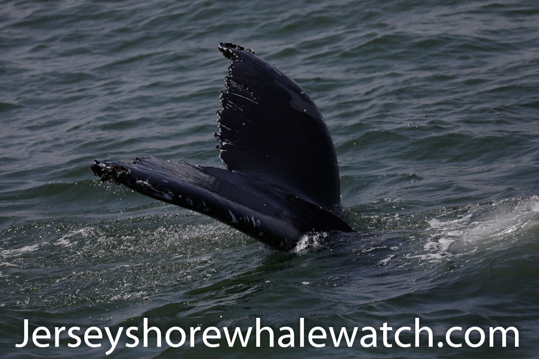Jersey shore whale watch July 6 review 2020 (32 of 37)