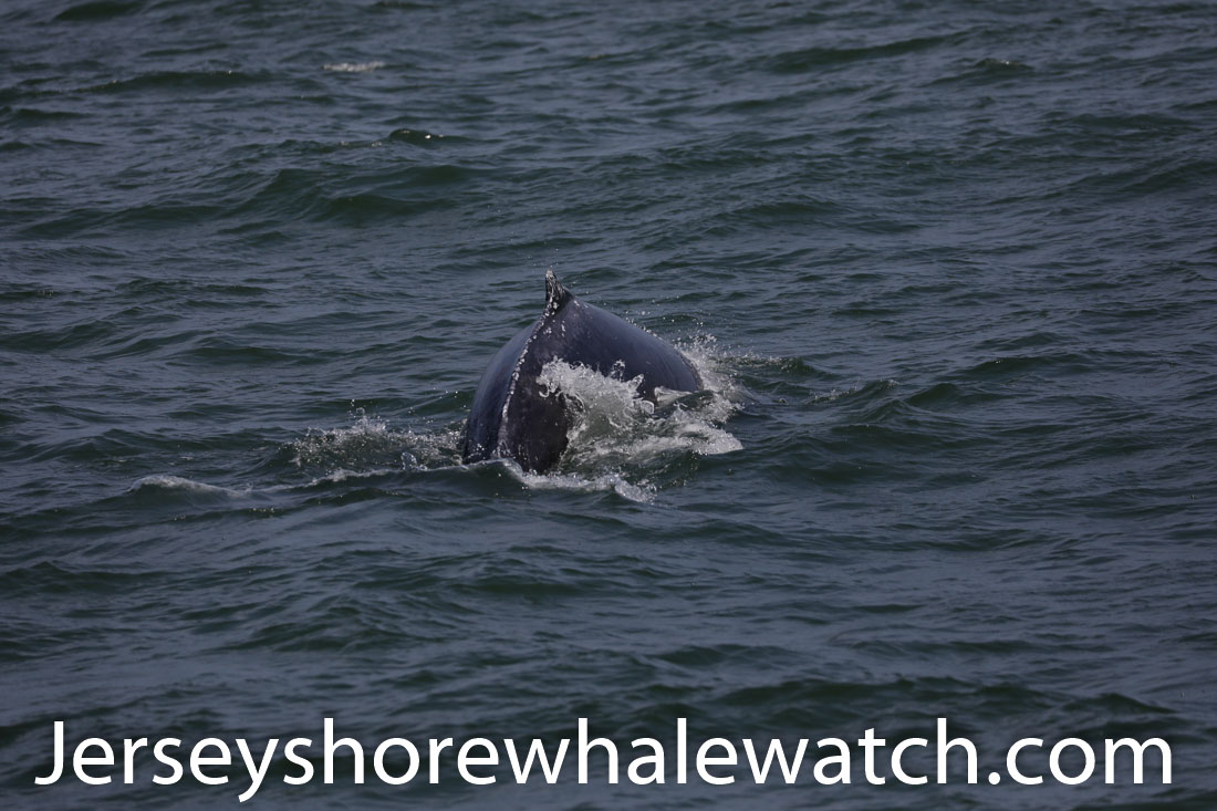 Jersey shore whale watch July 6 review 2020 (33 of 37)