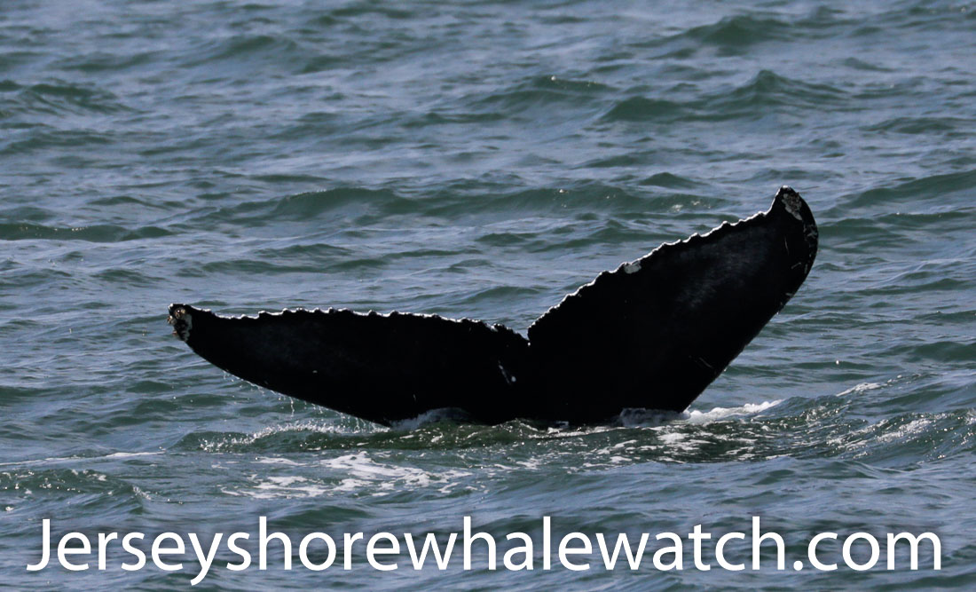 Jersey shore whale watch July 6 review 2020 (36 of 37)