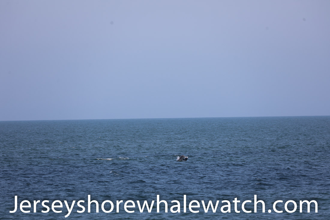 Jersey shore whale watch July 6 review 2020 (4 of 37)