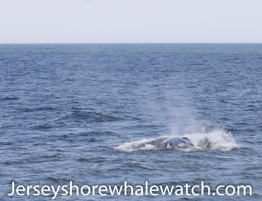 Along this three-hour tour, we point out all the various marine life – sea turtle ... Bring the entire family on this exciting Belmar, NJ whale watching trip