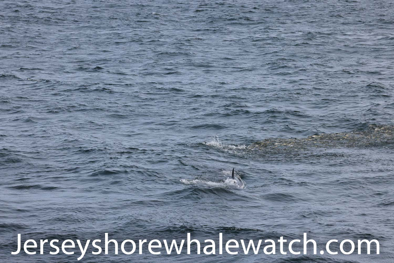Minke whale asbury park