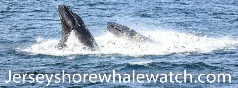 bait fish long branch nj , whales love menhaden fish
