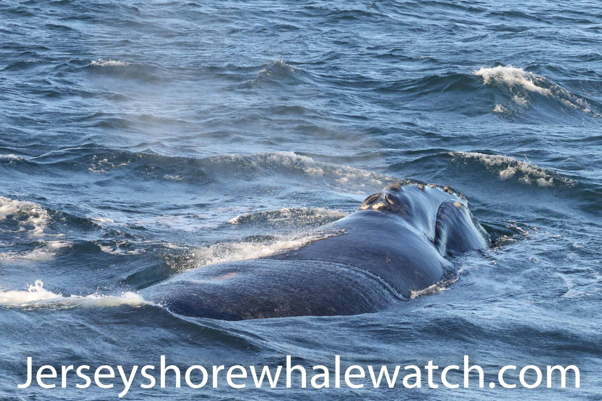 , Rare North American Right Whale photographed Jersey Shore coastline, Jersey Shore Whale Watch Tour 2021 Season