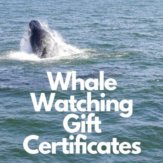 whale watching gift certificates