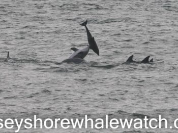 Bottlenose dolphins at play Belmar New Jersey 2021 March 9