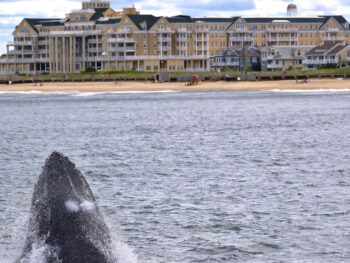 His first trip He didn't see whales, but with his free 2nd trip He captured these amazing photos. Photos by passenger Taj Sar May 31st 2021 Spring Lake beach humpback whale and new born dolphins